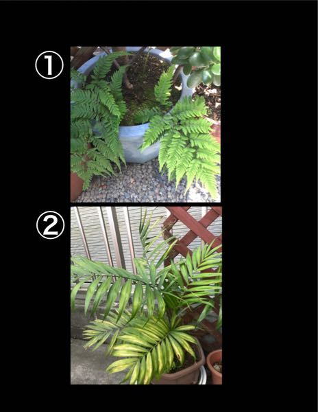写真の ①(シダ系)、②の植物の名前を教えてください。