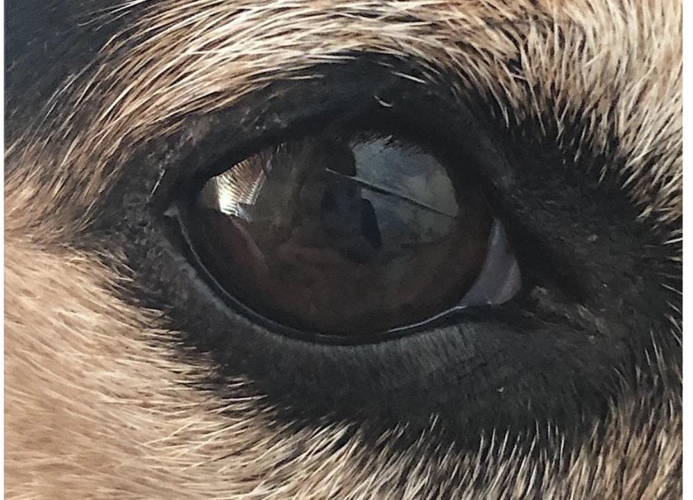 犬の目にキズがついてしまいました。 気づいたら写真のようなキズがついていました(実際の写真ではないですがとても似ています)。 目をこすったり、涙がすごく出ているような様子はなく普段通り元気な...