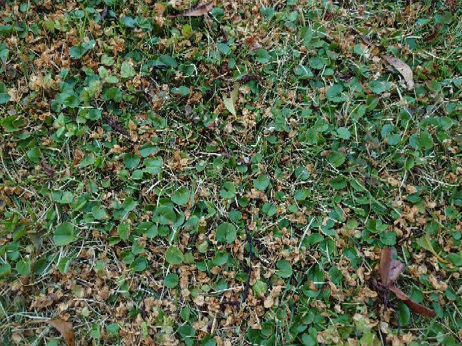芝生(姫高麗)の中にダイカンドラが混ざってしまいました。 原因はダイカンドラの種の混じった土を芝生の脇に捨てたことで、芝生の中に入ってきてしまいました。 MCPP、アージラン、シバゲンなどを試してみましたが、画像のように他のクローバー系は枯れるのですがダイカンドラは枯れてくれません。 芝を枯らさずダイカンドラを枯らすにはどのような薬剤を使えばよいでしょうか?お詳しい方、よろしくお願いいたします。