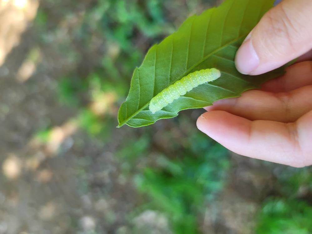 トビイロスズメの幼虫でしょうか? くぬぎの木についていました。