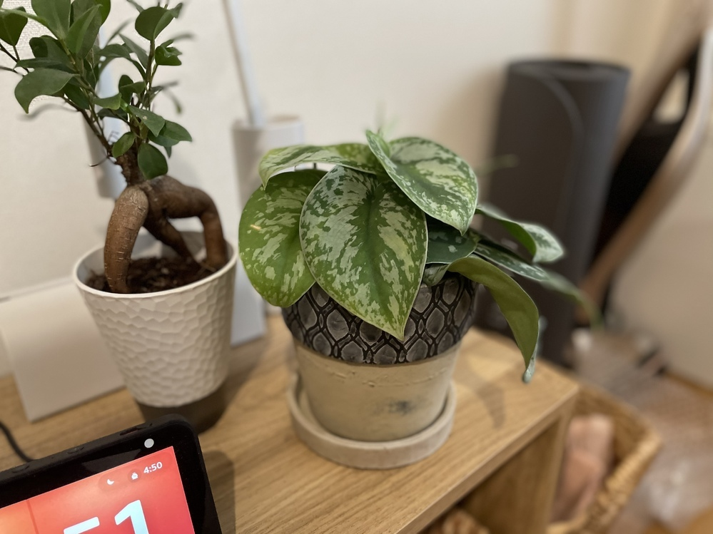 この観葉植物の名前が知りたいです… 右側の観葉植物をもらったのですが、名前が分からず育て方が調べられません。 教えていただけると幸いです