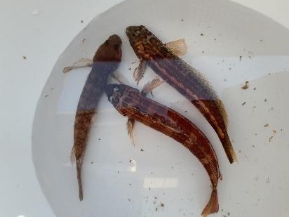 ハゼを釣ったのですが、2種類?3種類いるように感じます。 右の2匹は毒がありますか? よく言われている黒斑点はありませんが鮮やかな赤色やオレンジをしてます。 左の1匹にはお腹の方の下に吸盤みたいなヒレがついてます。 どれが食べれるハゼでしょうか? 教えてください!