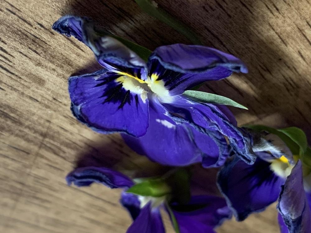 ビオラの花弁が縮れてしまいました。昨日まで、元気に咲いていました。少し水切れして頭を垂れていたので、すぐに水をあげました。 今までは同じパターンで花弁がこんな状態になったことはありません。 どなたか、わかる方がいらっしゃれば教えていただけませんか?