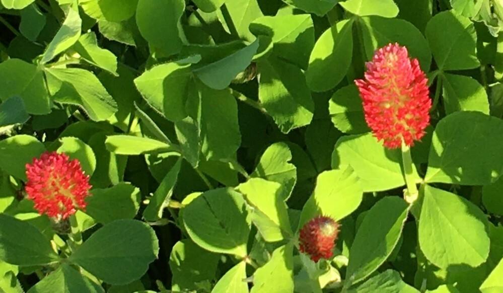 丸いトゲトゲの赤い花(?)が付いているこの植物は何というものですか。 農地に咲いていました。畑に肥料用に植えたものかも知れません。