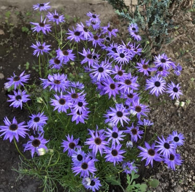 この花の名前をご存知の方、教えてください。 コスモスみたいだけど、小さい青紫の花で、今の季節(4月)に咲いています。