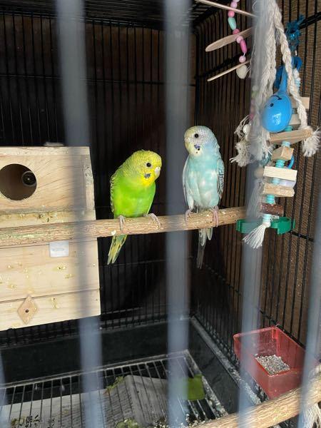 セキセイインコを2羽飼っています。最近緑色のインコが巣箱を独占して、青い方は外で寝ています。 青い方が巣に入ろうとすると、ギャギャギャって鳴いて凄い形相で追い出します。 発情期ですか? 前までは...