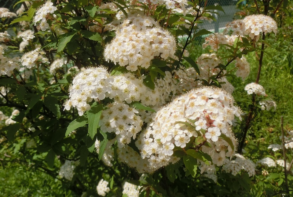 この木の名前を教えてください。 高さは150cm程度、白い花がたくさん集まって咲いています。