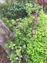 この木の名前を教えて下さい! (写真中央の多肉植物みたいなやつです)
