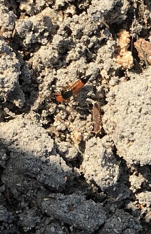 畑菜園をしてます。 写真は何て蟻ですか? 作物や土に悪さはしますか? ご存知の方、教えてください。 よろしくお願いします。