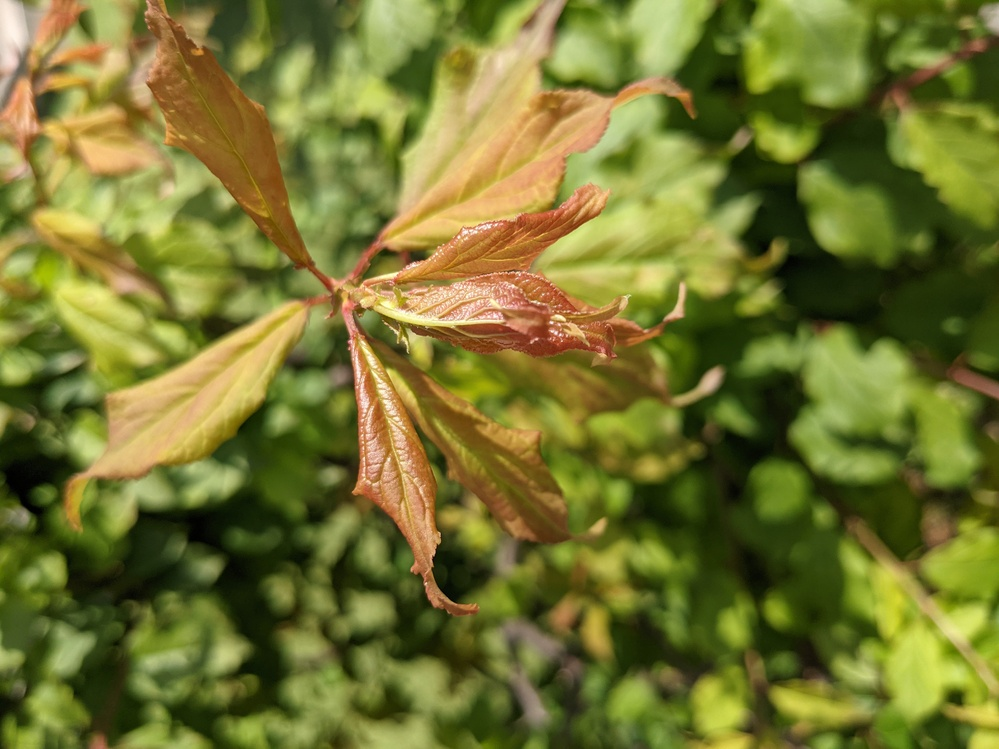 梅の葉です。これは縮葉病ですか?切った方が良いですか?