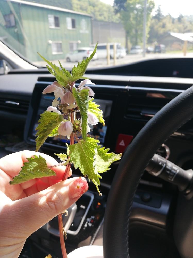 これは、何という植物でしょうか? 食べられますか? 野草酵素をがんばってつくっているのですが…なかなか進みません(T_T)