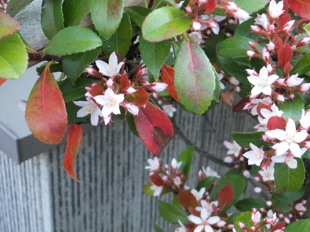 写真の花の名前を教えて下さい。 東海地方で現在(4月中旬)に咲いている花です。 ある家の生垣に植えてあって名前を聞いたところ分からないそうです。 樹高1m程度(←剪定しているから?)の低木、花のサイズはアベリアぐらいの小さな花です。 どうぞよろしくお願いします。