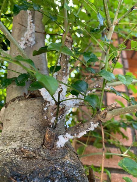 庭のシマトネリコに写真のような白いフワフワしたものが数カ所ついていました。 虫でしょうか? どのように対処したらいいのか分からず質問させていただきました。 宜しくお願い致します。