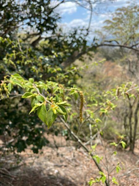 カバノキ科?っぽいこの植物はなんですか?