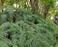 葉っぱの根本にゼンマイのようなものが生えている植物を見つけました。 これはなんという植物でしょうか?