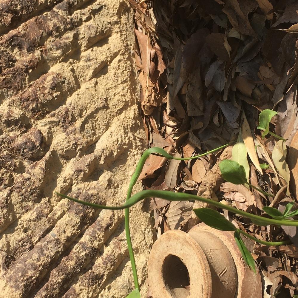 これってなんて植物かわかりますか? ツノのような形をしています。