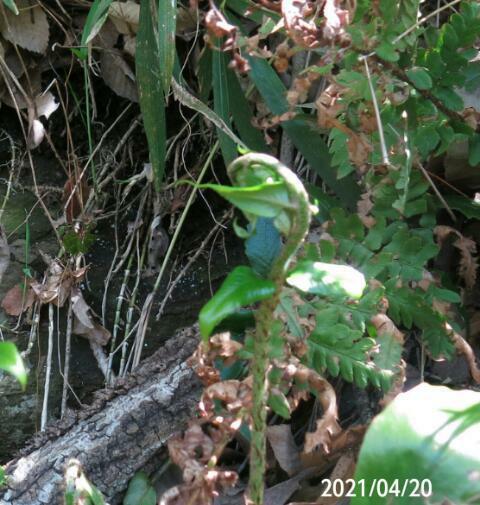 男ゼンマイですか? 食べれますか? 固いですか? 岐阜県美濃加茂市杁ヶ洞池で、 撮影20210420