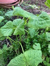 植物の名前 家の庭に大量発生しました。 これはなんという植物ですか?
