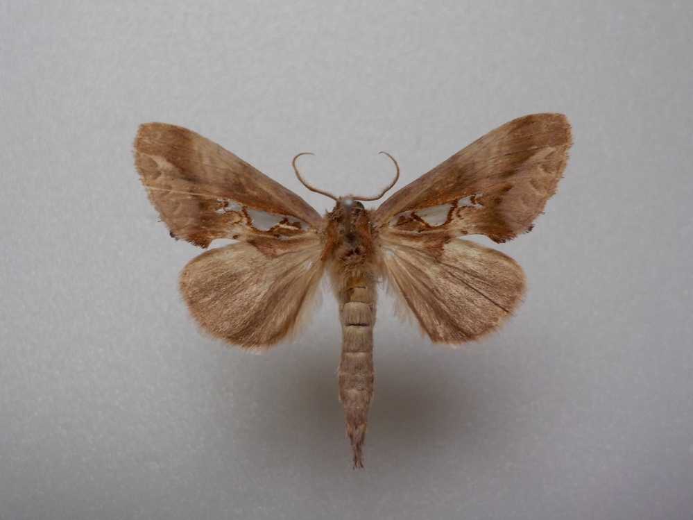 この蛾の種類は何ですか? ウスイロギンモンチャチホコで合っていますか? 兵庫県産 8月採集です。