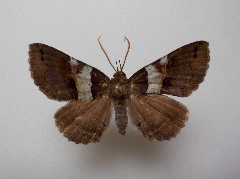 この蛾の種類は何ですか? シラフクチバで合っていますか? 兵庫県産 6月採集です。