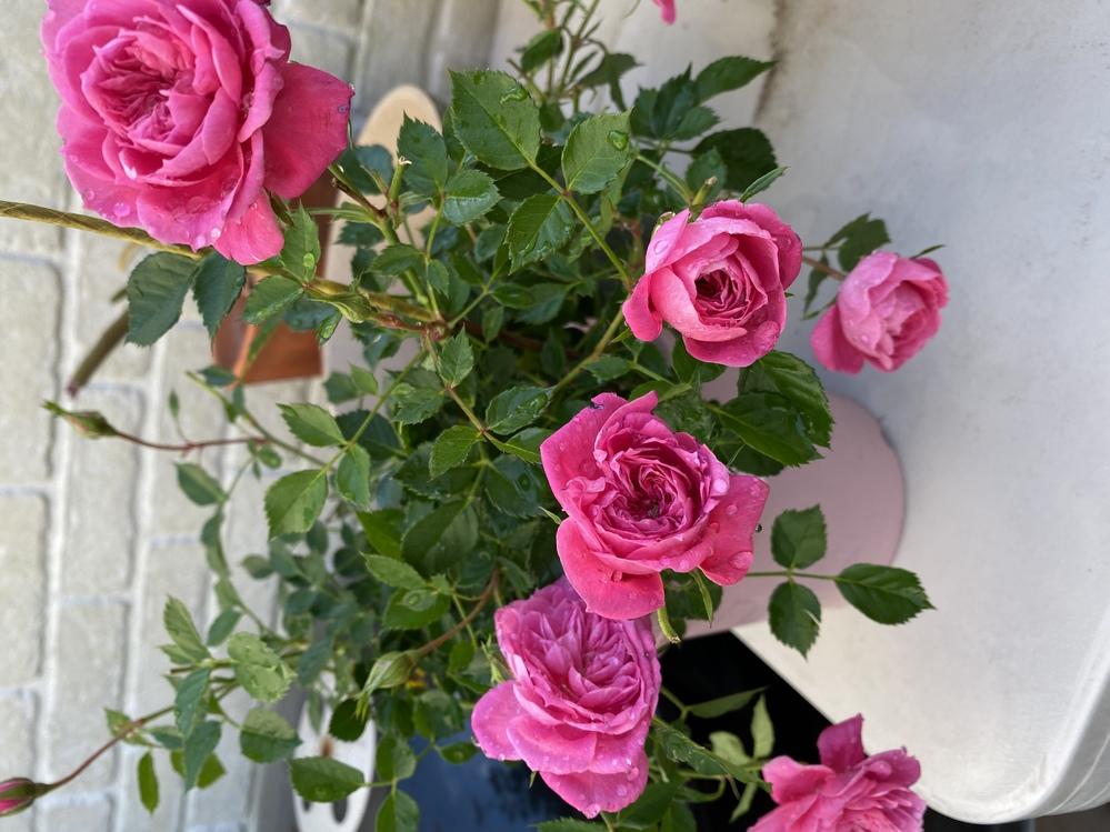 薔薇の名前を知りたいです。 鉢植えをした方がいいか、地植えの方がいいか調べたいですが、種類が分からないです。 知ってる方、教えて頂くと幸いです。 宜しくお願いします。