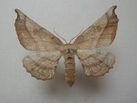 この蛾の種類は何ですか? 兵庫県産 10月採集です。