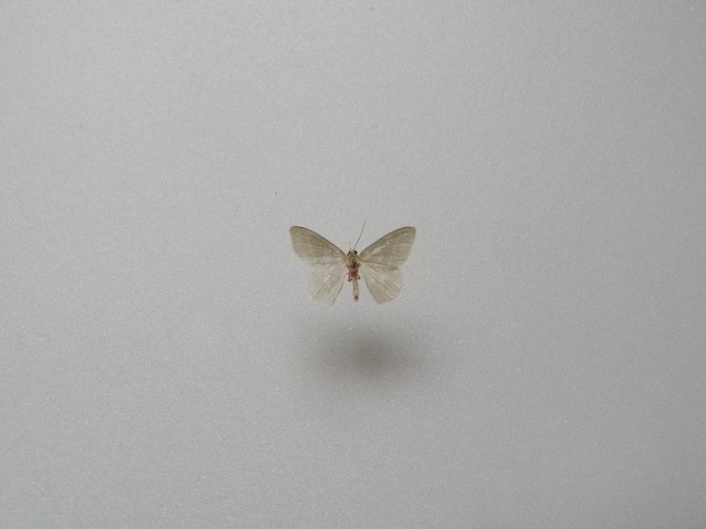 この蛾の種類は何ですか? 兵庫県産 4月採集です。