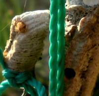 カマキリの卵ですが、先日急に大きな穴が開き、 中から虫が出てきました。  寄生されていたのでしょうか? この虫はなんという虫か教えてください  また、今からでもこの虫をひきずりだした方がいいでしょうか もう中身空っぽでしょうかね…