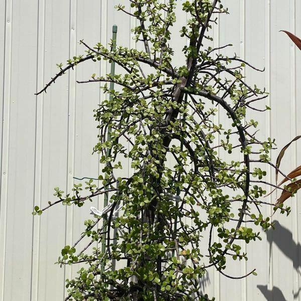 この、伸びきってしまった観葉植物、何ですか?