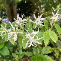 この白い花の名前を教えてください。  ご回答、よろしくお願いします。