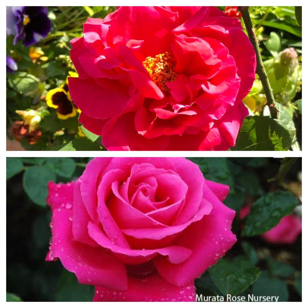 去年、新苗で買ったマリアカラスです。初めて、花を咲かせてくれました(上の写真)。 下の写真のように、中心部が綺麗に巻いた形に咲かせるには、どうすれば良いのでしょうか?