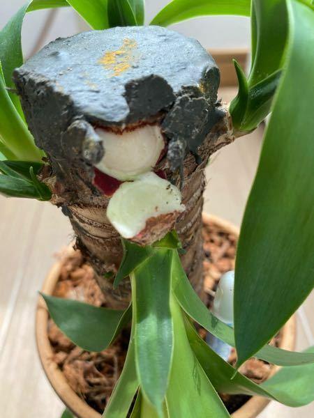写真あり。観葉植物のユッカを、自分の不注意で落としてしまい、葉が根元から折れてしまいました。元に戻す方法はありますでしょうか?また、切り取った方が良いのでしょうか?