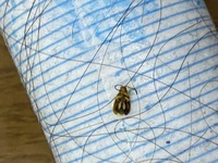 お見苦しい写真すみません。これはゴキブリの子供でしょうか?  おわかりになる方いらっしゃいましたら回答お願いします。