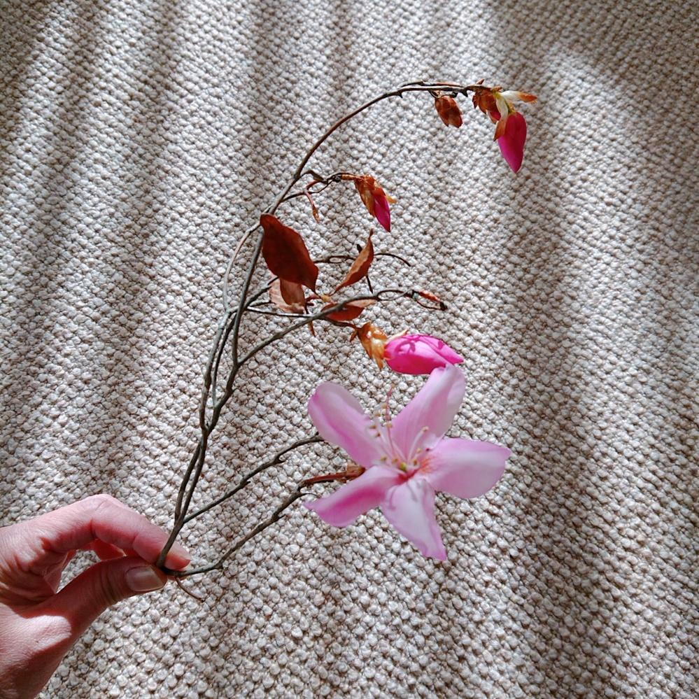 この庭木の名前を知りたいです。 背の高い木で、ピンク色の花がたくさんついています。 葉は枯れたように茶色でカサカサしています。