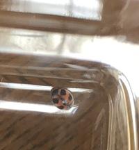 虫に詳しい方お願いします。 体長2.5mmのてんとう虫を見つけました。 こんなに小さなてんとう虫は初めてです。 なんというてんとう虫かわかる方いましたら、教えて下さい。