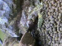 何というエビですか?  埼玉県のビン沼川でガサガサして取れたました。  1.5センチ位でしす。