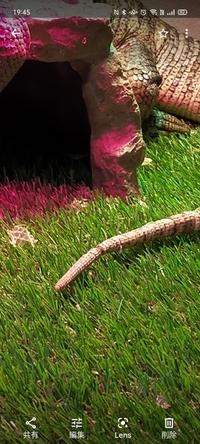 サバンナモニターを飼って一年くらいですが、尻尾が壊死しているような感じになってしまいました。 原因などあれば教えて下さい。