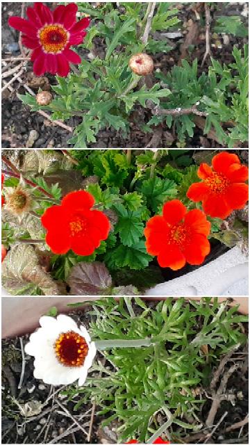 花の名前が分からず…教えてください。 3種類あります。 上から2つ目は常緑、上から1つ目・3つ目は冬は一度茶色くなり短く剪定しました。 花のお世話をするようになったため、なんという名の花なのか知っておきたいです。 お力添えください。
