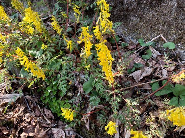 植物に詳しい方にお聞きします。キケマンっぽいのですが、いまいち確証が持てません。これはキケマンで合ってるのでしょうか?それとも違う植物なのでしょうか?