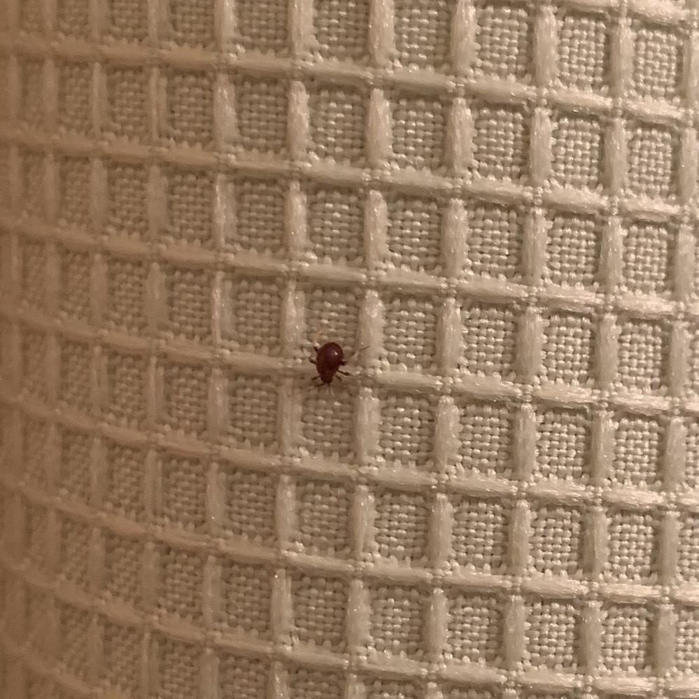 この虫はなんという虫でしょうか? 最近自分の部屋に頻繁に出てきます。 赤黒い?色で、動きがゆっくりです。 調べてみても特定できず…なんの虫かすごく気になります。 サイズはその辺によくいる小さい蜘蛛ぐらいなのです。