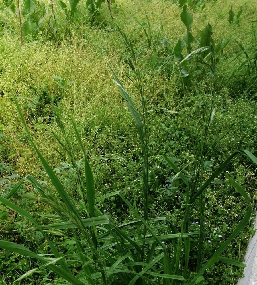 この雑草の名前はわかりますか? 猫が先程脱走してしまい、この草を食べたようです。 すぐにそのまま吐いて、今のところ元気ですが、有害なものか、分かる方がいましたら教えて下さい。