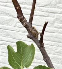 イチジクの枝にブキミなものがくっついているのですが、これは何でしょうか? もしお分かりになる方がいましたらご教示ください。 よろしくお願いいたします。