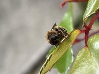 バラによく来るこの蜂なんて言う蜂でしょうか? 害虫でしょうか?
