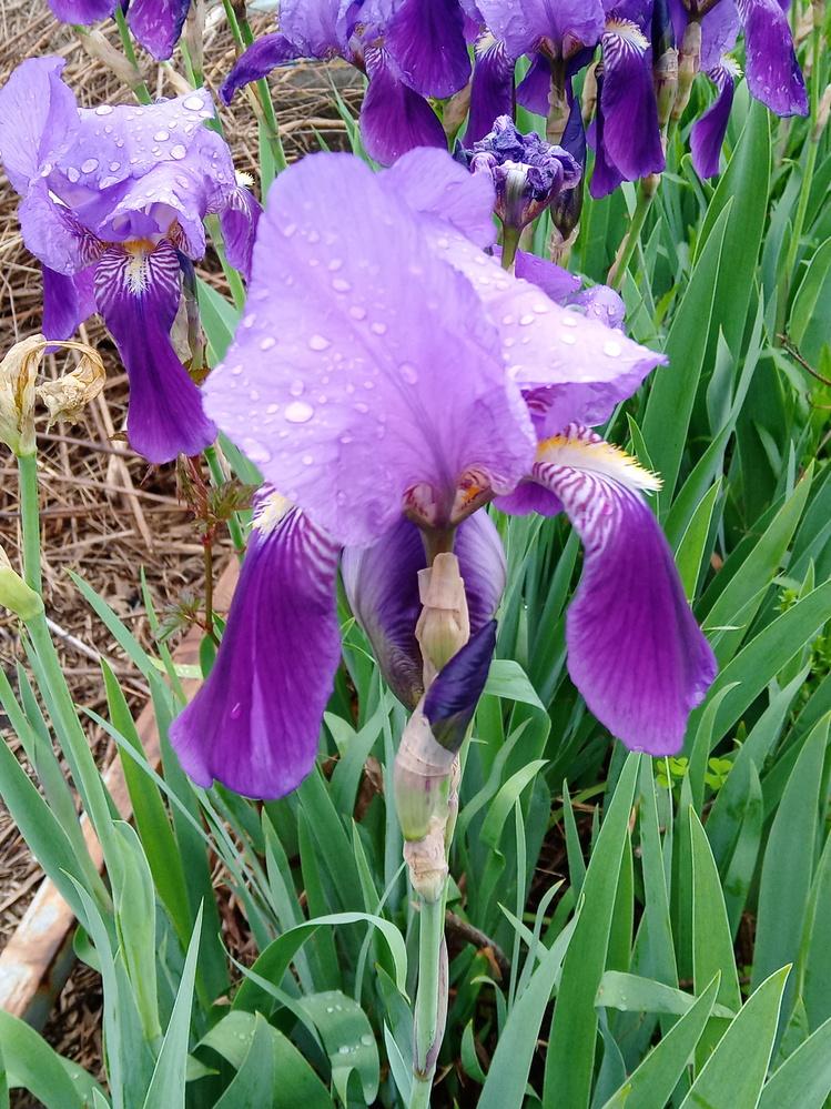 この写真の花の名前は何と言いますか。 数日前に撮った写真ですが、花は3月下旬から咲いています。 花の図鑑やサイトの写真を見ましたが、アヤメやカキツバタには似ていて葉も同様に細長いものですが、咲く時期が違うようです。 これらと同じ種類の花だと思いますがいかがでしょうか。