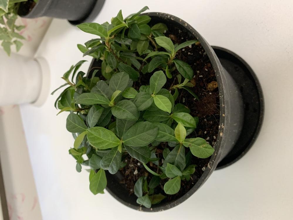 この観葉植物の名前が知りたいです。 ホームセンターで買ったのですが、名前が書いていなくて分からなかったです。 詳しい方ぜひ教えてください。