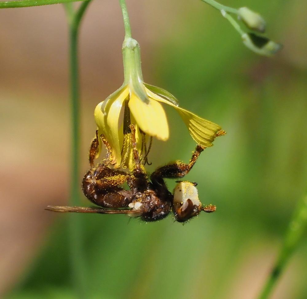 花はニガナ、このヤドリバエのようなものは、何か、教えてください。