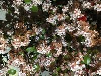 この低木の名前を教えて下さい。 岡山県倉敷市の4月下旬に咲いていました。 南東方面で半日影に植えてあります。 ベニシャリンバイでしょうか?シャリンバイでこれほど花が咲くのでしょうか?
