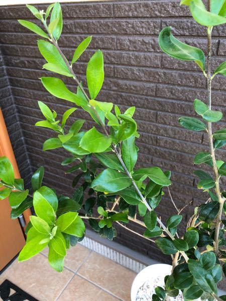 これってオリーブでしょうか? ネットで購入したのですが、よく見るオリーブの葉っぱと違うので…。 こんな種類もあるのかな? どなたか詳しい方教えてください!