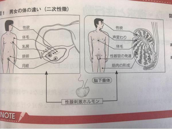 精巣や子宮、ホルモンについて質問です。 この画像では臓器内の位置によって影響する身体部位が違うように描かれているのですが、 実際それぞれに担当する成長部位があるのですか?