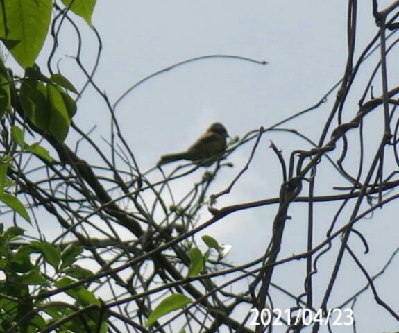 縄張り宣言している小鳥の名前を教えてください、 岐阜県米田白山で、 撮影20210423